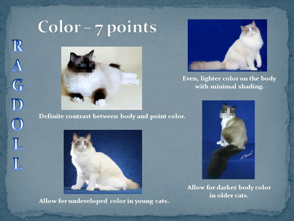 Allow for undeveloped color in young cats. Allow for darker body color in older cats. Definite contrast between body and point color. Even, lighter co