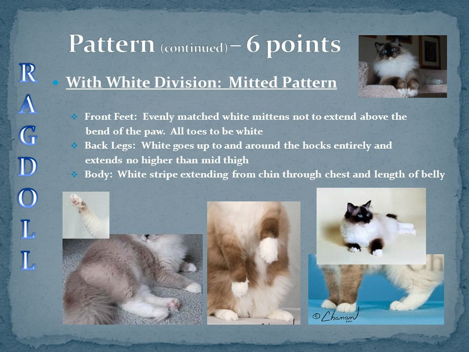 With White Division: Mitted Pattern  Front Feet: Evenly matched white mittens not to extend above the bend of the paw. All toes to be white  Back Le