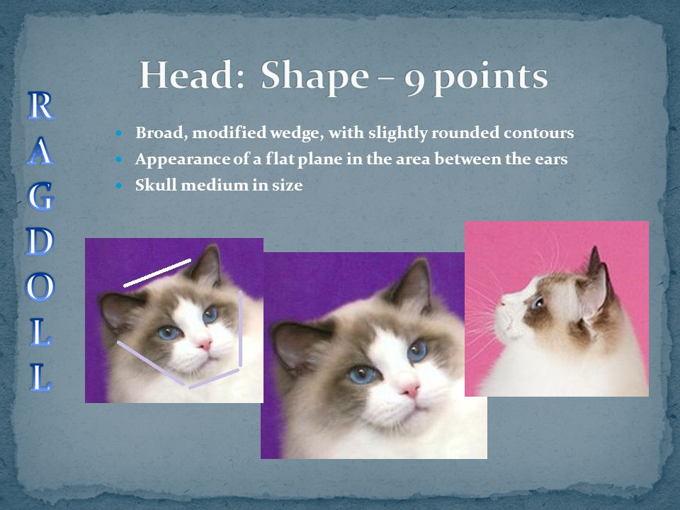 Broad, modified wedge, with slightly rounded contours Appearance of a flat plane in the area between the ears Skull medium in size