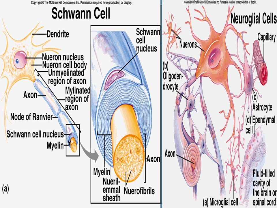 The BBB is anatomical and physiological barrier between brain and circulation.