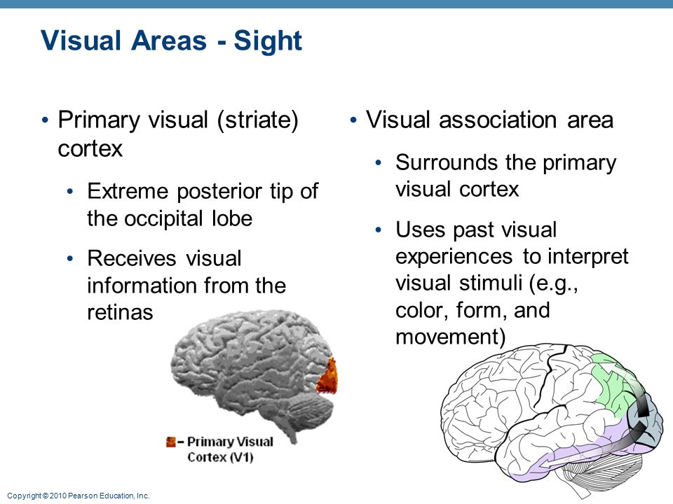 Copyright © 2010 Pearson Education, Inc. Visual Areas - Sight Primary visual (striate) cortex Extreme posterior tip of the occipital lobe Receives vis
