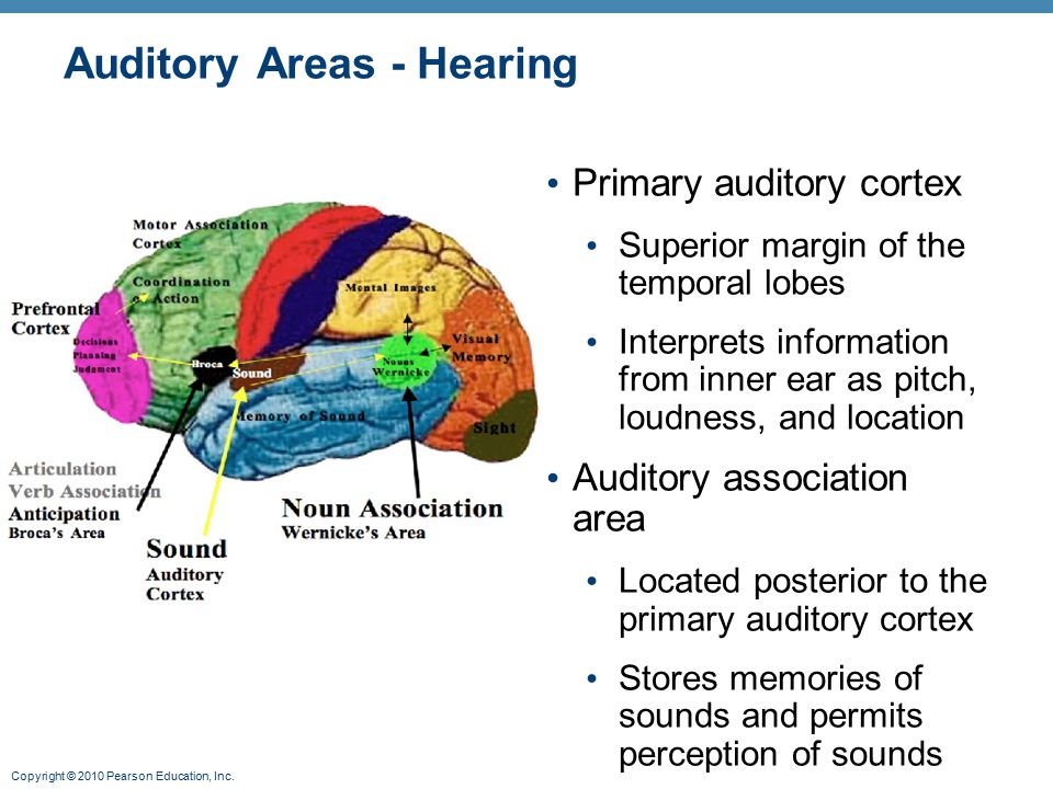 Copyright © 2010 Pearson Education, Inc. Auditory Areas - Hearing Primary auditory cortex Superior margin of the temporal lobes Interprets information