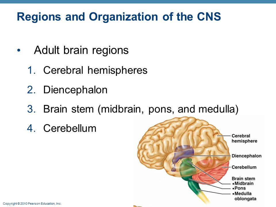Copyright © 2010 Pearson Education, Inc. Regions and Organization of the CNS Adult brain regions 1.Cerebral hemispheres 2.Diencephalon 3.Brain stem (m