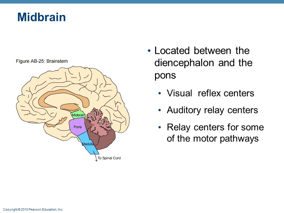 Copyright © 2010 Pearson Education, Inc. Midbrain Located between the diencephalon and the pons Visual reflex centers Auditory relay centers Relay cen