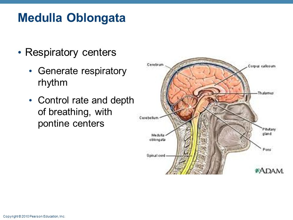 Copyright © 2010 Pearson Education, Inc. Medulla Oblongata Respiratory centers Generate respiratory rhythm Control rate and depth of breathing, with p