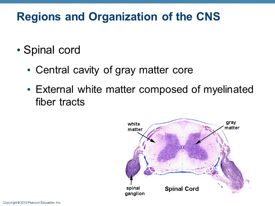 Copyright © 2010 Pearson Education, Inc. Regions and Organization of the CNS Spinal cord Central cavity of gray matter core External white matter comp