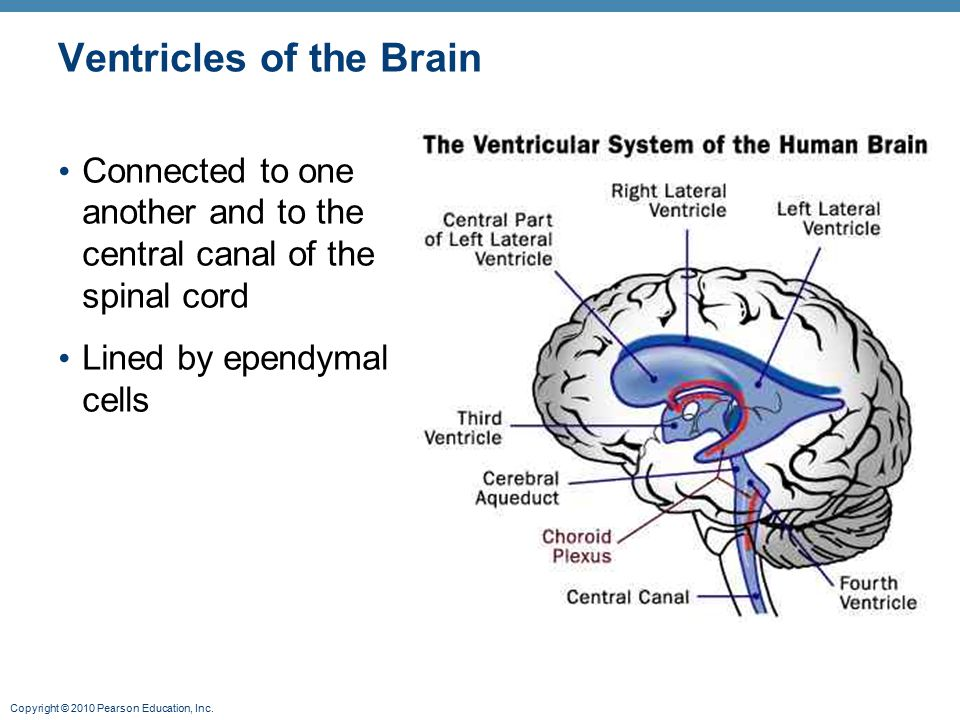 Copyright © 2010 Pearson Education, Inc. Ventricles of the Brain Connected to one another and to the central canal of the spinal cord Lined by ependym