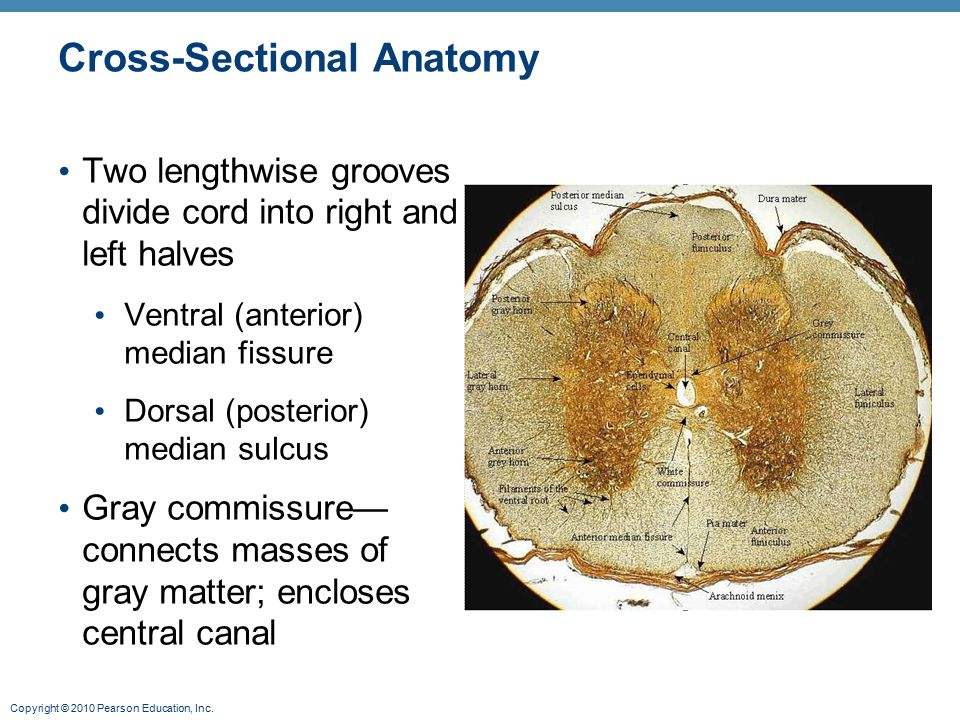 Copyright © 2010 Pearson Education, Inc. Cross-Sectional Anatomy Two lengthwise grooves divide cord into right and left halves Ventral (anterior) medi