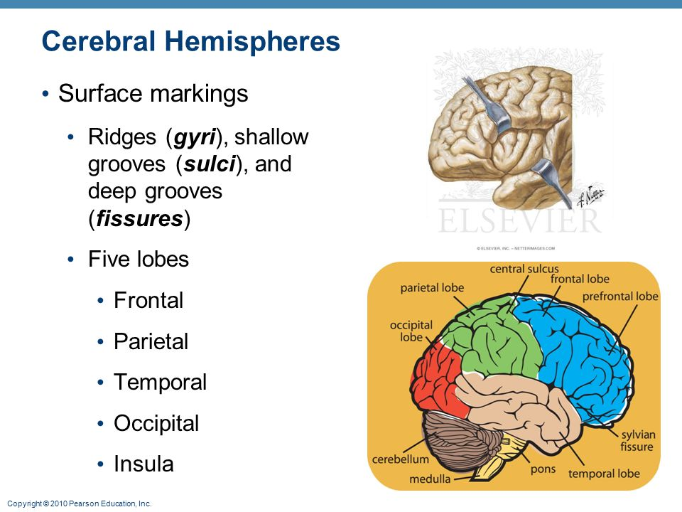 Copyright © 2010 Pearson Education, Inc. Cerebral Hemispheres Surface markings Ridges (gyri), shallow grooves (sulci), and deep grooves (fissures) Fiv