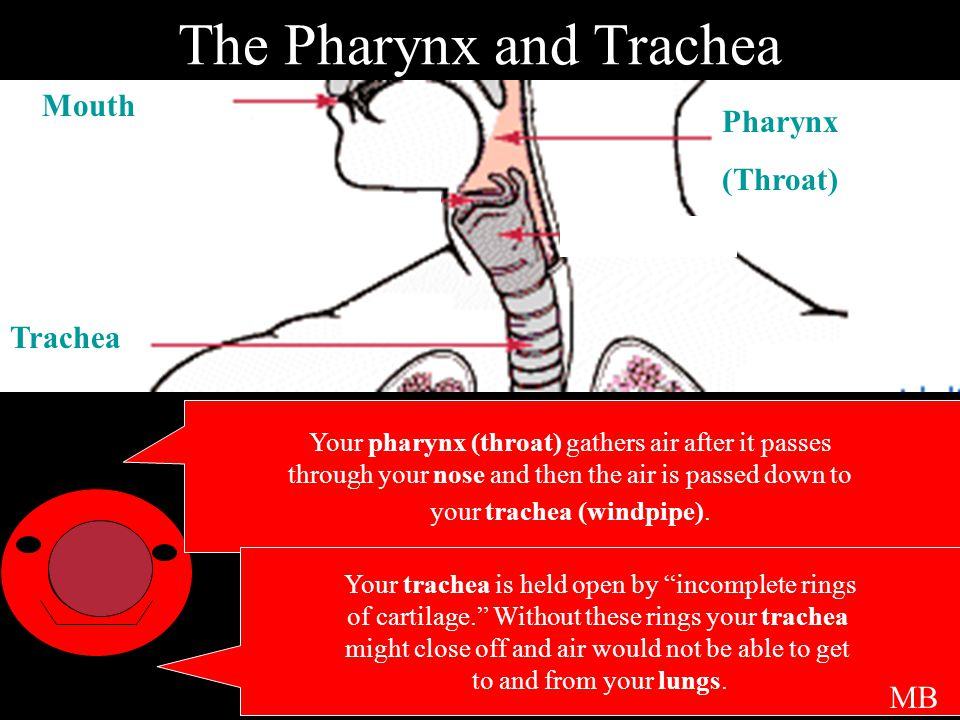 The Pharynx and Trachea Your pharynx (throat) gathers air after it passes through your nose and then the air is passed down to your trachea (windpipe).
