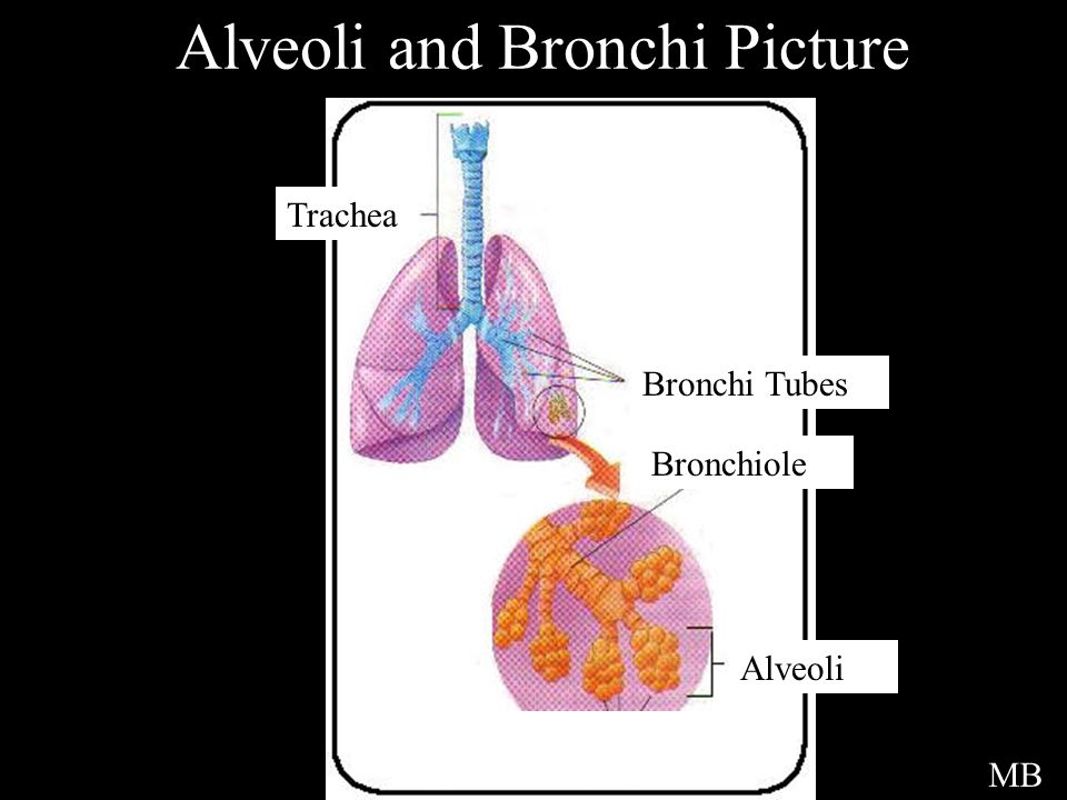 Alveoli and Bronchi Picture Trachea Bronchi Tubes Bronchiole Alveoli MB