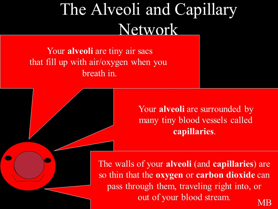 The Alveoli and Capillary Network Your alveoli are tiny air sacs that fill up with air/oxygen when you breath in.