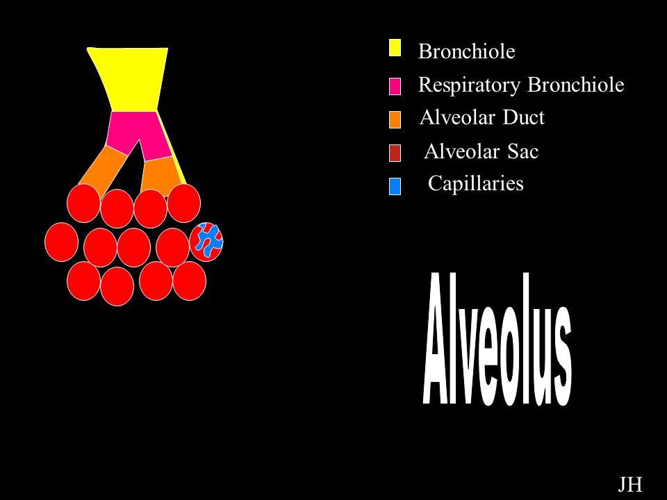 Alveolus Bronchiole Respiratory Bronchiole Alveolar Duct Alveolar Sac Capillaries JH