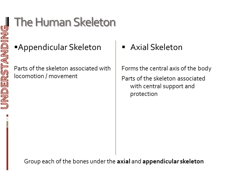  Appendicular Skeleton Parts of the skeleton associated with locomotion / movement  Axial Skeleton Forms the central axis of the body Parts of the s