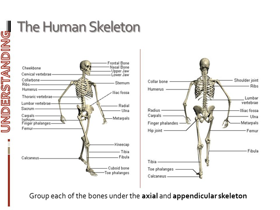 The Human Skeleton Group each of the bones under the axial and appendicular skeleton