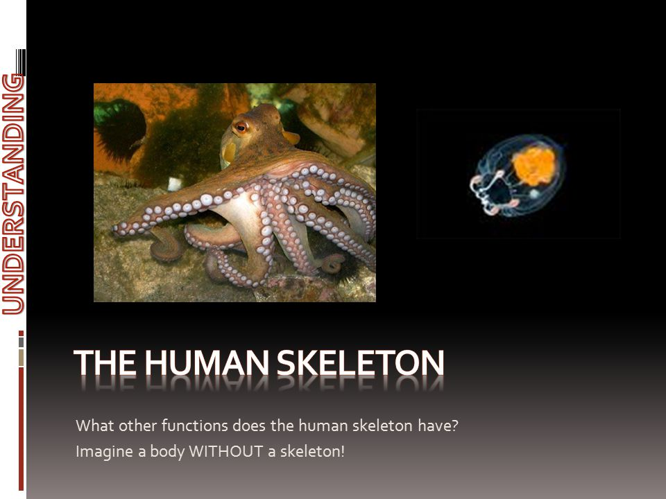 What other functions does the human skeleton have? Imagine a body WITHOUT a skeleton!