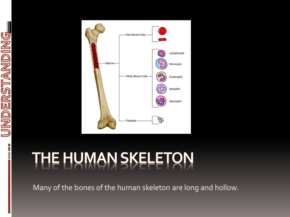 Many of the bones of the human skeleton are long and hollow.