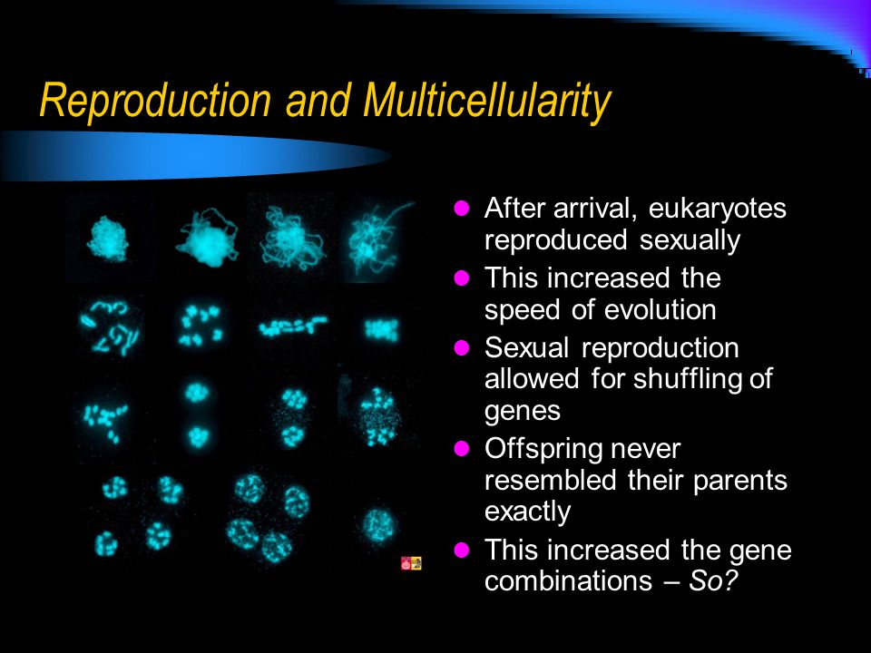 Reproduction and Multicellularity After arrival, eukaryotes reproduced sexually This increased the speed of evolution Sexual reproduction allowed for