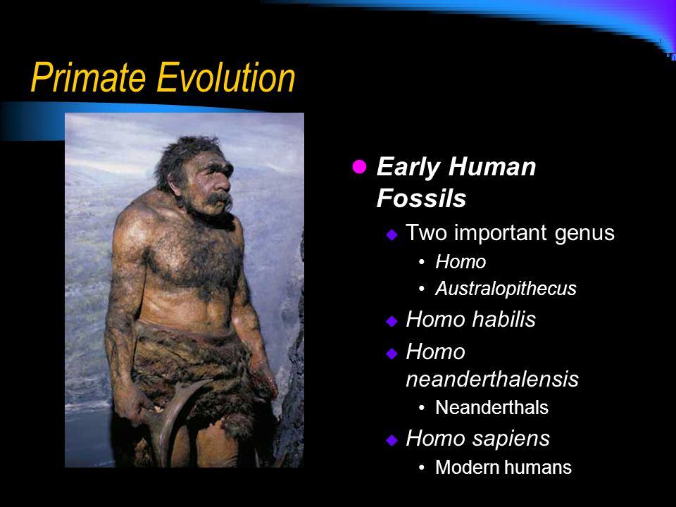 Primate Evolution Early Human Fossils  Two important genus Homo Australopithecus  Homo habilis  Homo neanderthalensis Neanderthals  Homo sapiens M