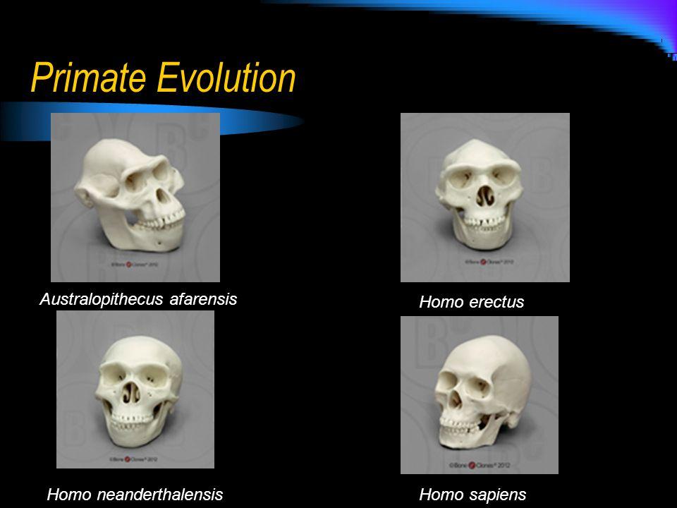 Primate Evolution Australopithecus afarensis Homo erectus Homo neanderthalensisHomo sapiens