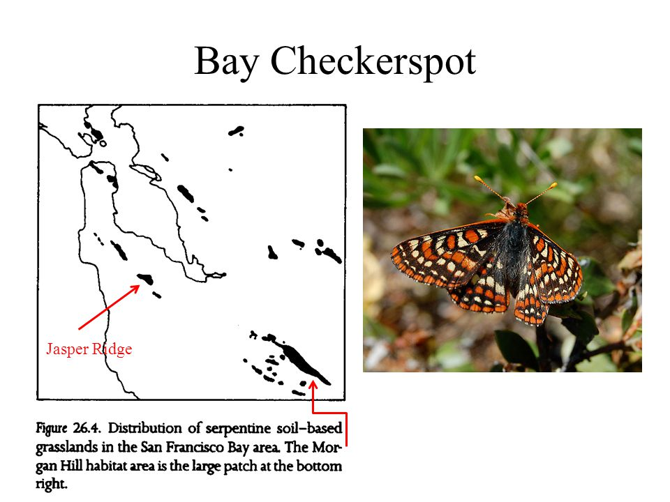 Bay Checkerspot Jasper Ridge