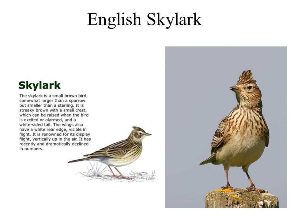 English Skylark