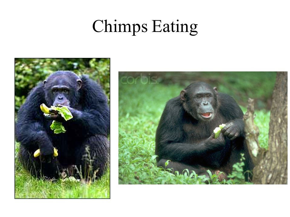 Chimps Eating