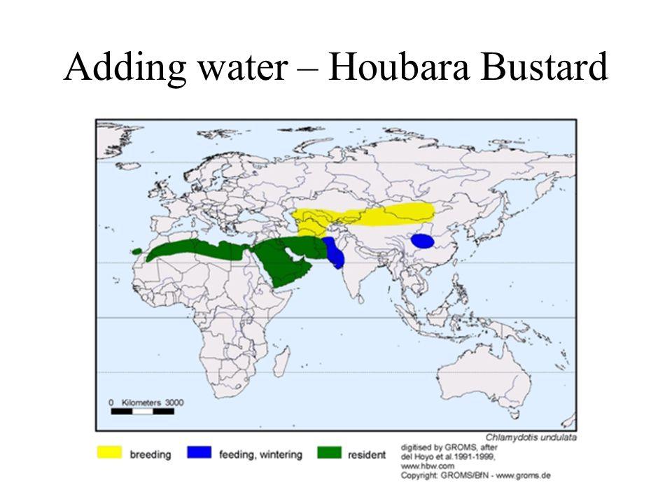 Adding water – Houbara Bustard