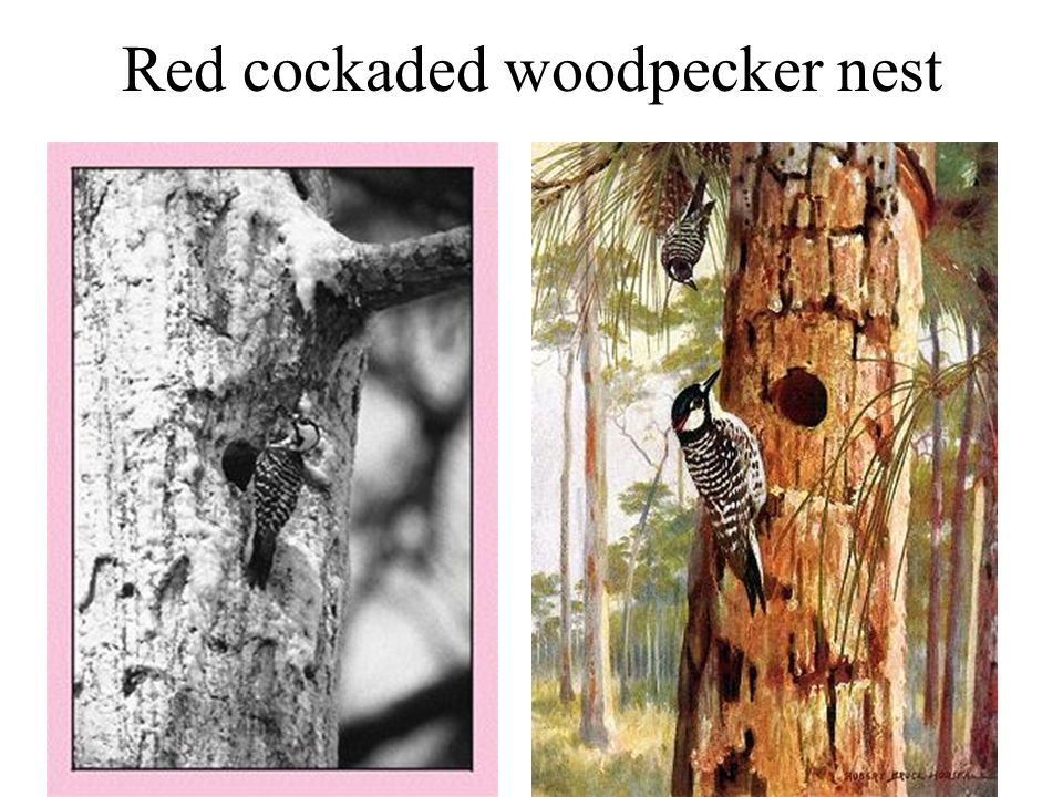 Red cockaded woodpecker nest