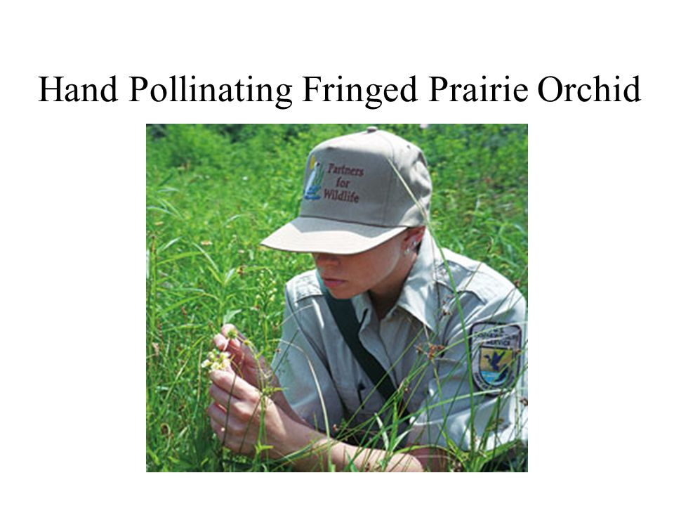 Hand Pollinating Fringed Prairie Orchid