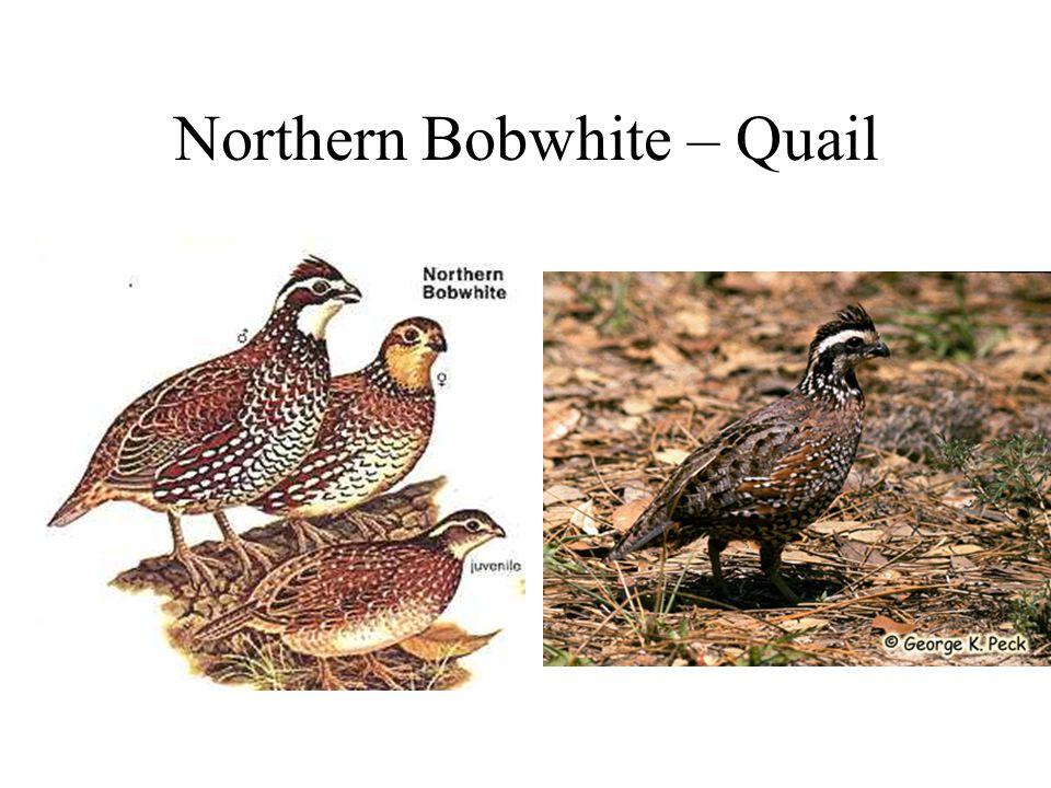 Northern Bobwhite – Quail