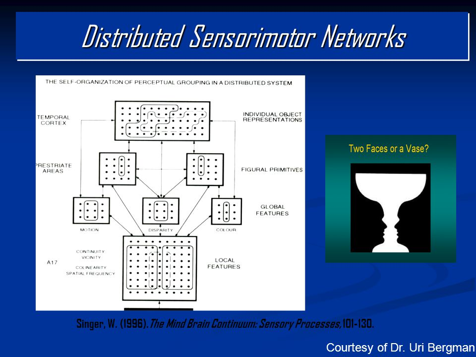 Singer, W. (1996).The Mind Brain Continuum: Sensory Processes, 101-130. Distributed Sensorimotor Networks Courtesy of Dr. Uri Bergman