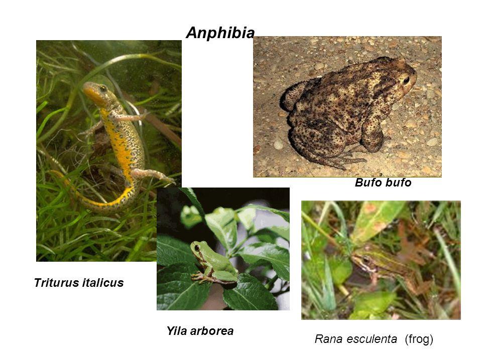Rana esculenta (frog) Triturus italicus Bufo bufo Anphibia Yila arborea