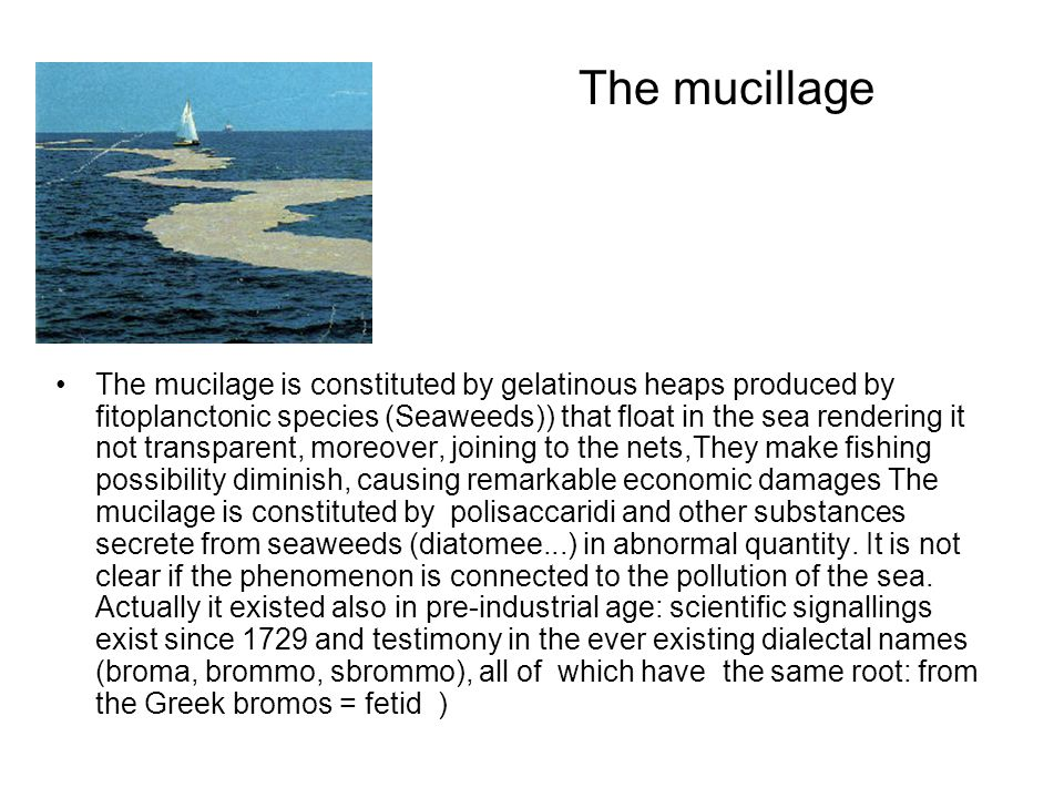 The mucillage The mucilage is constituted by gelatinous heaps produced by fitoplanctonic species (Seaweeds)) that float in the sea rendering it not transparent, moreover, joining to the nets,They make fishing possibility diminish, causing remarkable economic damages The mucilage is constituted by polisaccaridi and other substances secrete from seaweeds (diatomee...) in abnormal quantity.