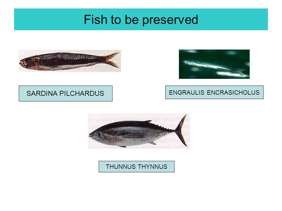 Fish to be preserved ENGRAULIS ENCRASICHOLUS THUNNUS THYNNUS SARDINA PILCHARDUS