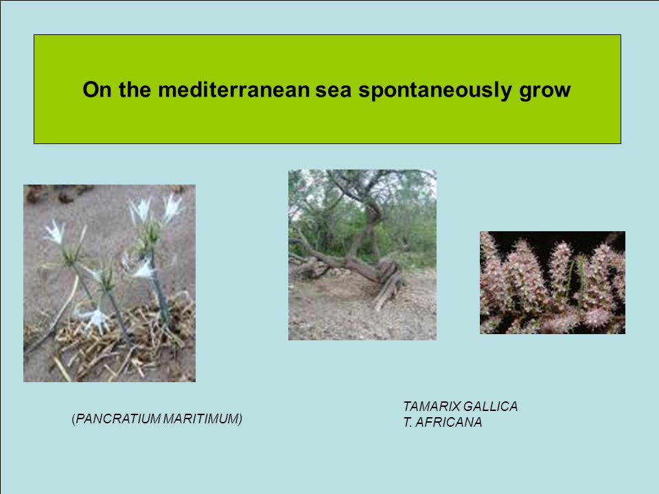 On the mediterranean sea spontaneously grow (PANCRATIUM MARITIMUM) TAMARIX GALLICA T. AFRICANA