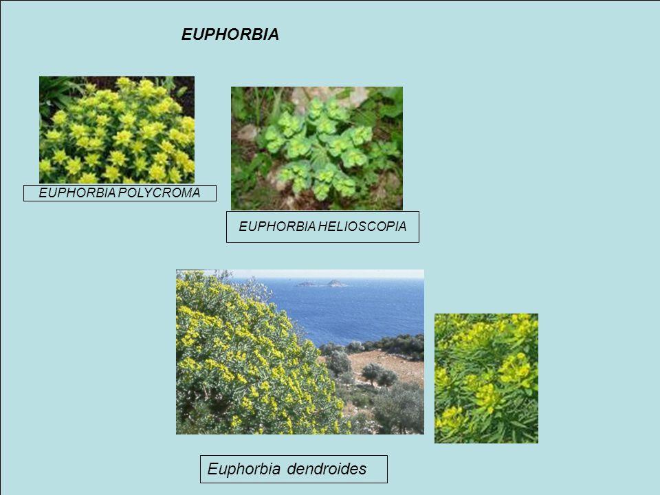 EUPHORBIA POLYCROMA EUPHORBIA HELIOSCOPIA Euphorbia dendroides EUPHORBIA