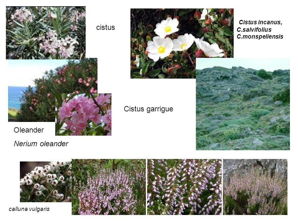 cistus Oleander Nerium oleander calluna vulgaris Cistus garrigue Cistus incanus, C.salvifolius C.monspeliensis