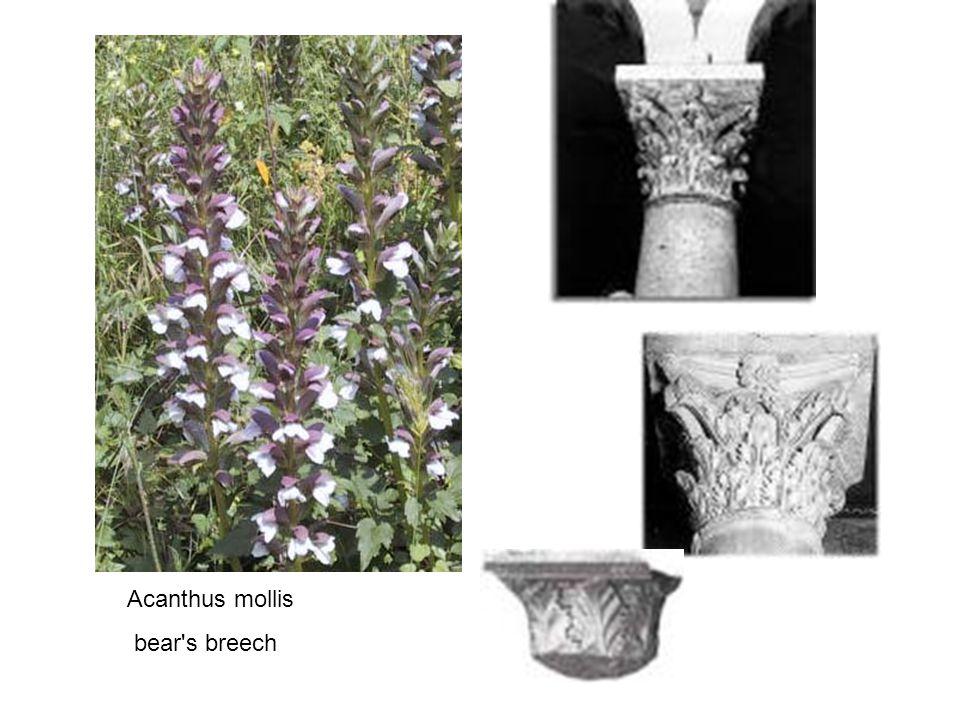 Acanthus mollis bear s breech