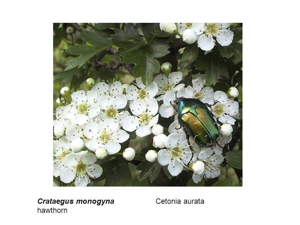 Crataegus monogyna hawthorn Cetonia aurata