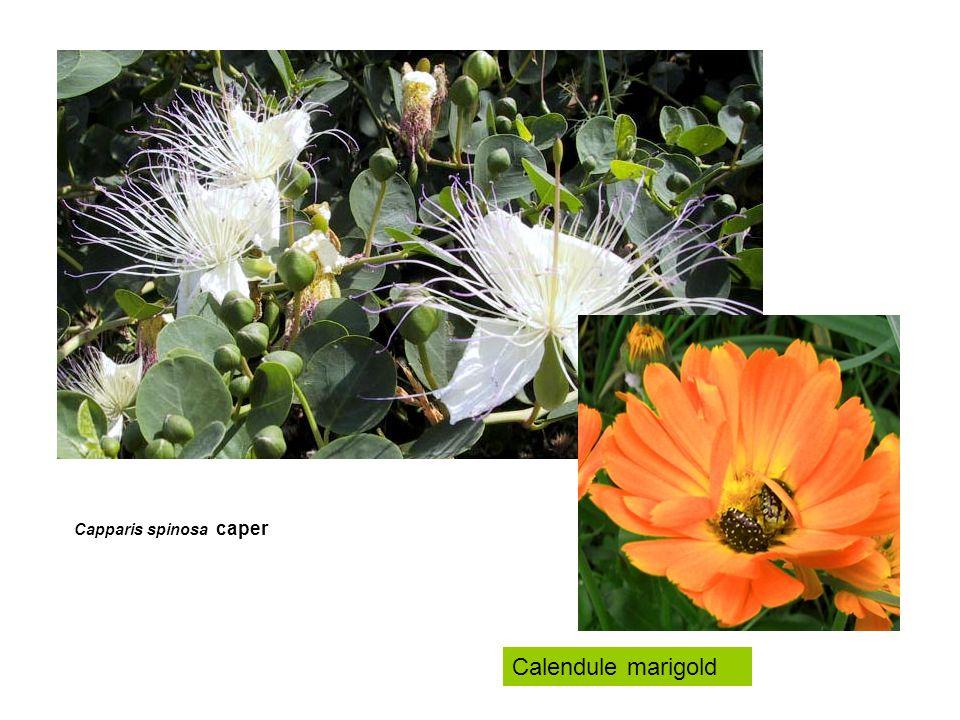 Capparis spinosa caper Calendule marigold