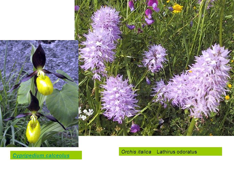 Cypripedium calceolus Orchis italica Lathirus odoratus
