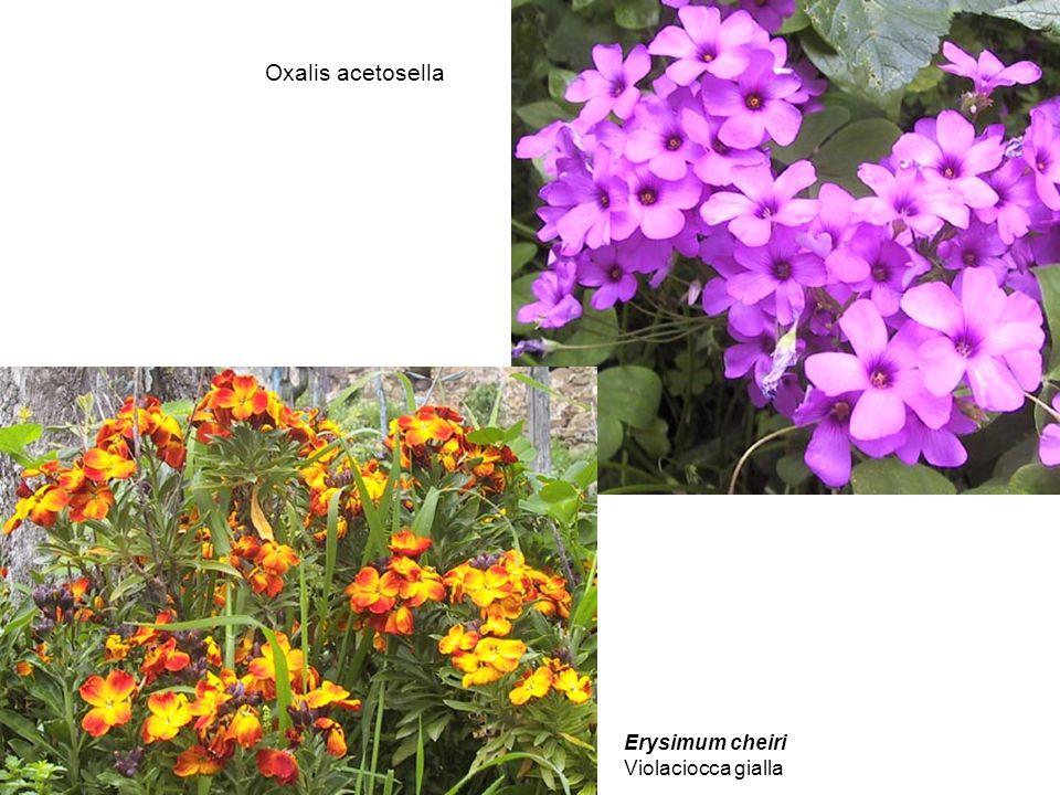 Oxalis acetosella Erysimum cheiri Violaciocca gialla