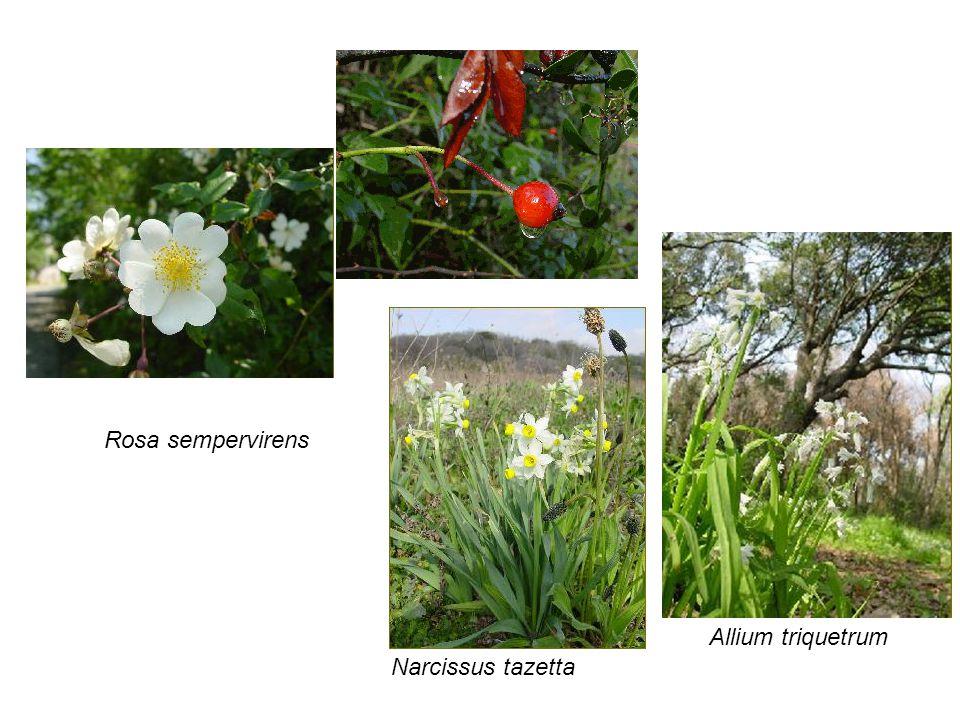 Rosa sempervirens Allium triquetrum Narcissus tazetta