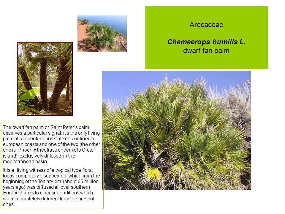 Arecaceae Chamaerops humilis L.