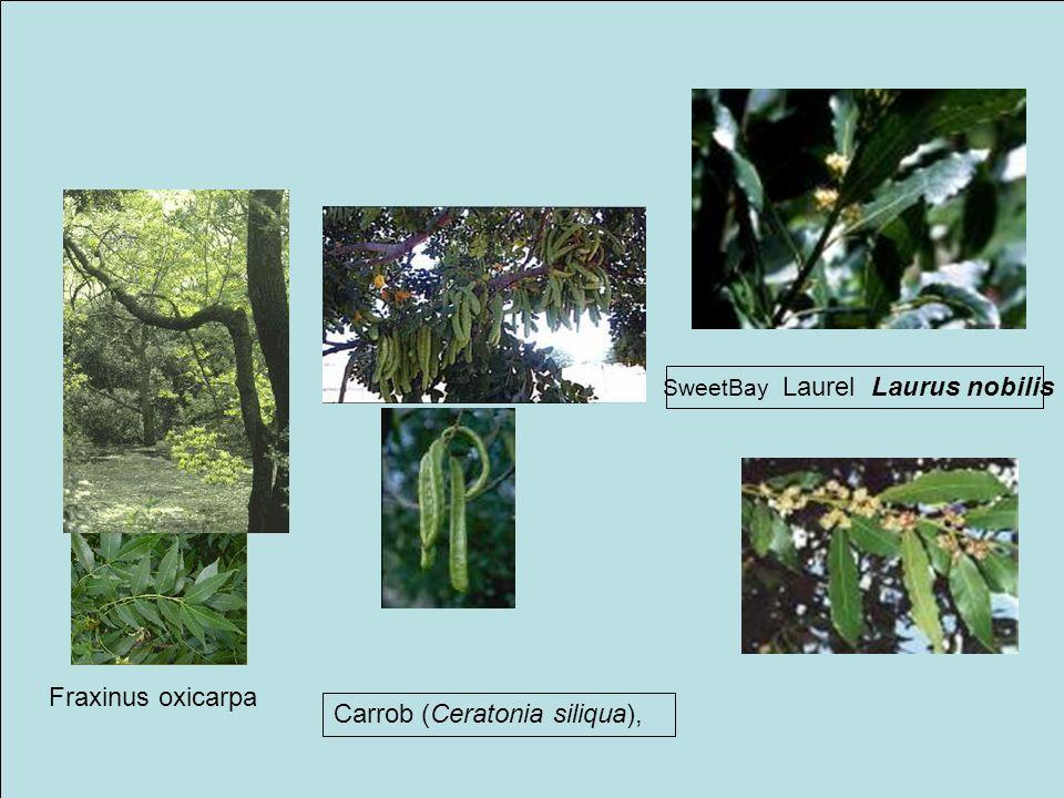 SweetBay Laurel Laurus nobilis Carrob (Ceratonia siliqua), Fraxinus oxicarpa