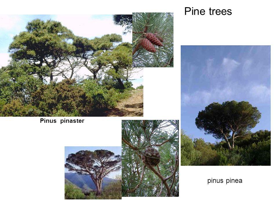 Pine trees Pinus pinaster pinus pinea