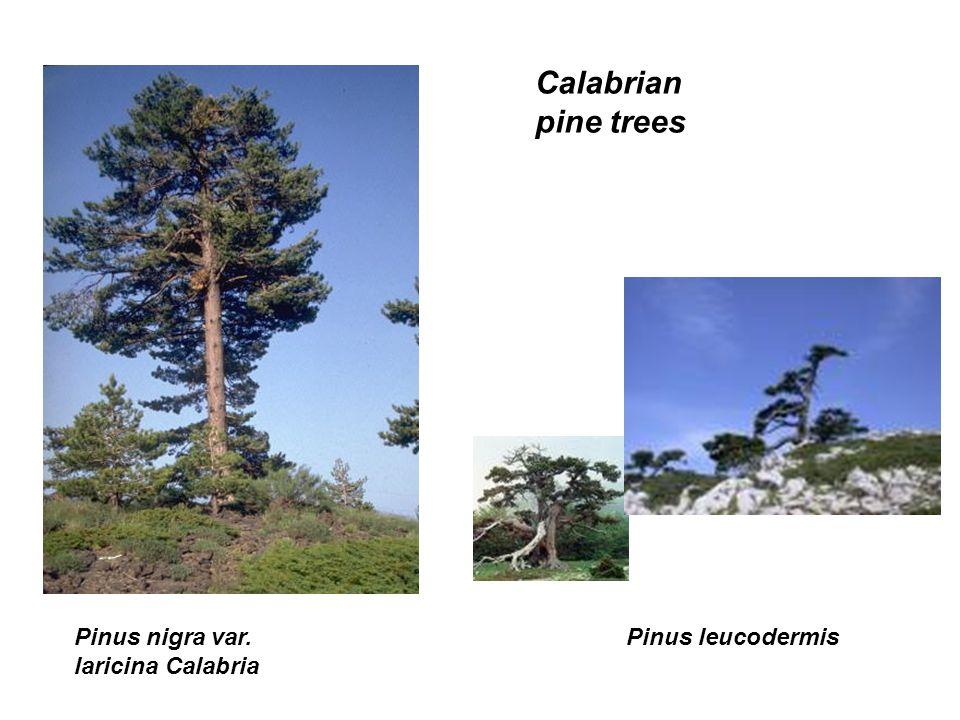 Pinus nigra var. laricina Calabria Pinus leucodermis Calabrian pine trees