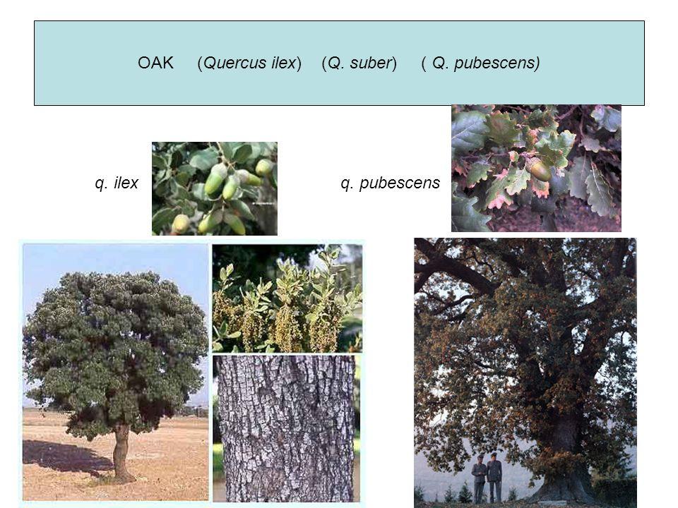 OAK (Quercus ilex) (Q. suber) ( Q. pubescens) q. pubescensq. ilex