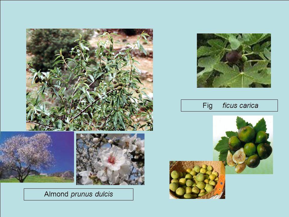 Fig ficus carica Almond prunus dulcis